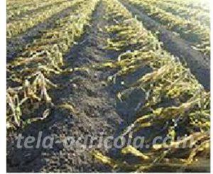 Daños en cultivo por bajas temperaturas